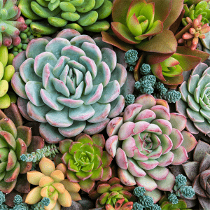 Pink Picasso Paint by Numbers Sensitive Succulents PPK-1620SE